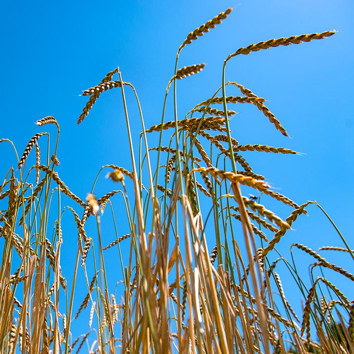 Landwirtschaft-Dinkel-240x240px