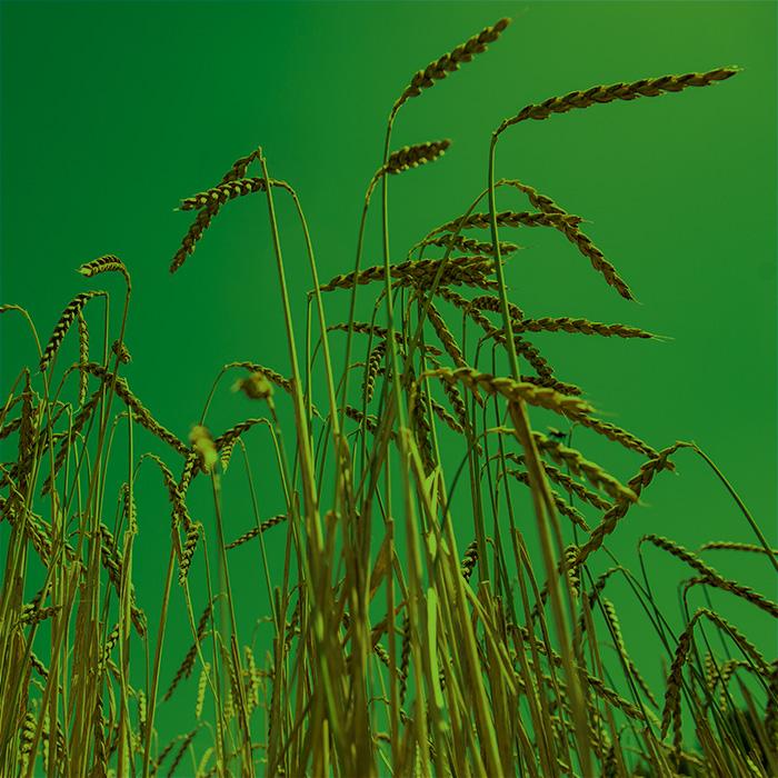 Landwirtschaft-Dinkel_gruen
