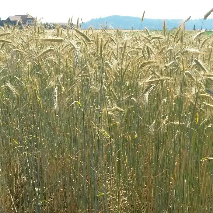 Landwirtschaft-Roggen