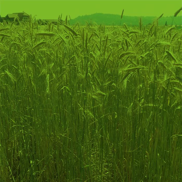 Landwirtschaft-roggen_gruen