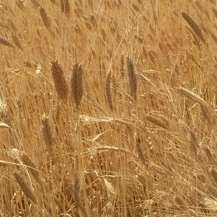 Landwirtschaft_Einkorn