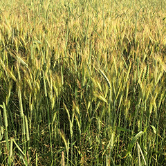 Landwirtschaft_Triticale_hauptnavi_quadrate-240x240px