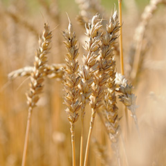 Landwirtschaft_Weizen_hauptnavi_quadrate-240x240px