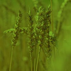 Landwirtschaft_Weizen_hauptnavi_quadrate-240x240px_gruen
